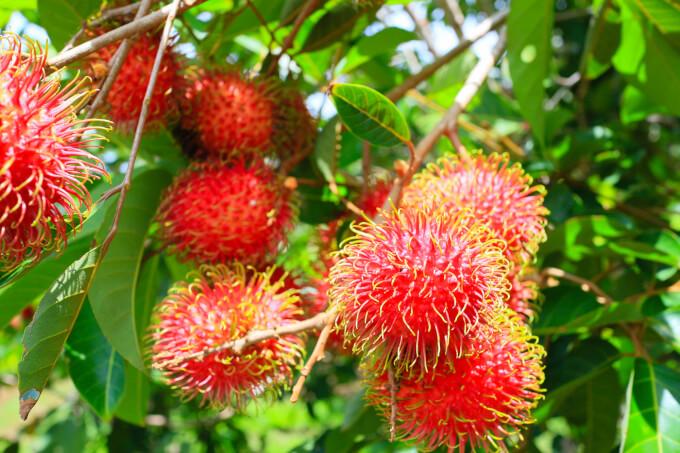 タイ・プーケットで食べたいフルーツ「ンゴ」(ランブータン)!味はライチ?食べ方は?